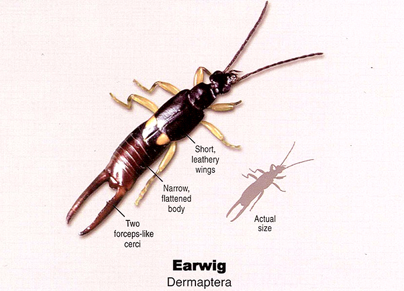 how to get rid of earwigs in planters