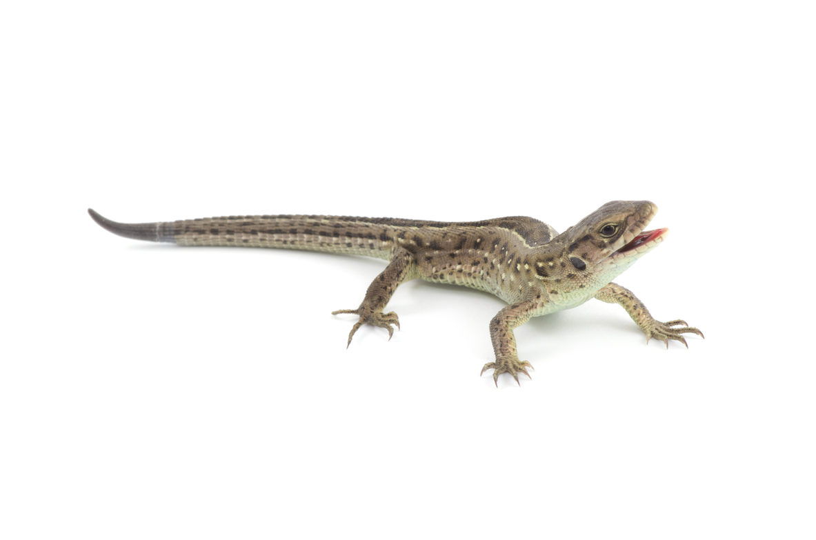 the insect diet of alabama lizards. Black Bedroom Furniture Sets. Home Design Ideas