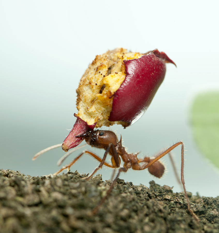 Leaf-cutter ant Acromyrmex octospinosus carrying eaten apple