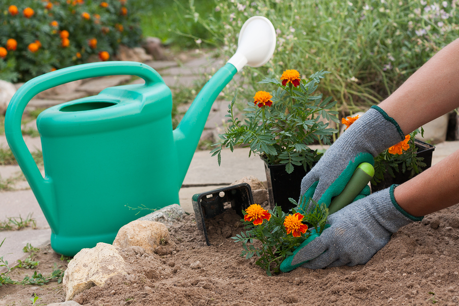 Female Florist Planting Marigold Flowers From A Garden Tools In Her Hand In Garden In Spring Season. Planting Flowers.