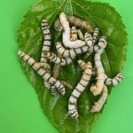 What to do When Your Trees Are Full of Silk Worms