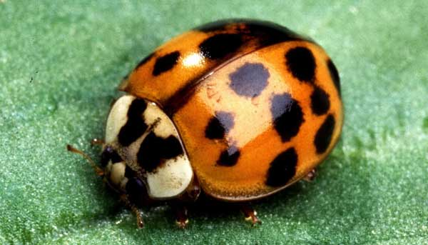 How to Fight Your Way Out of a Ladybug Infestation - Vulcan