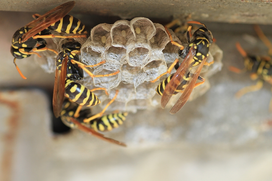 Why Wasps Are Attracted To Your Home