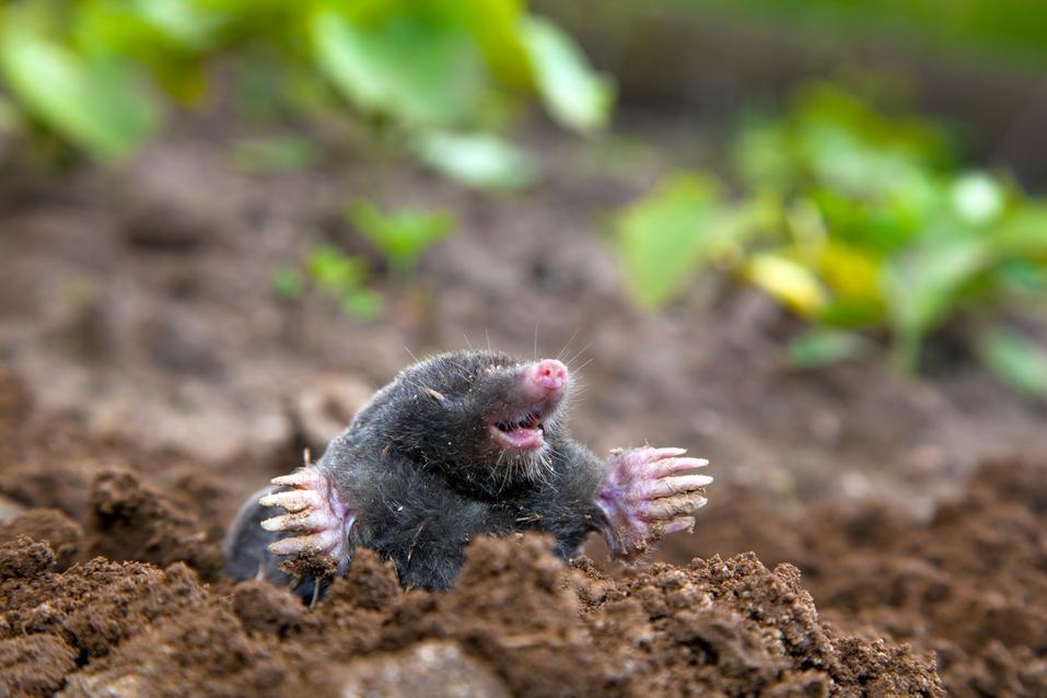 Mole in ground