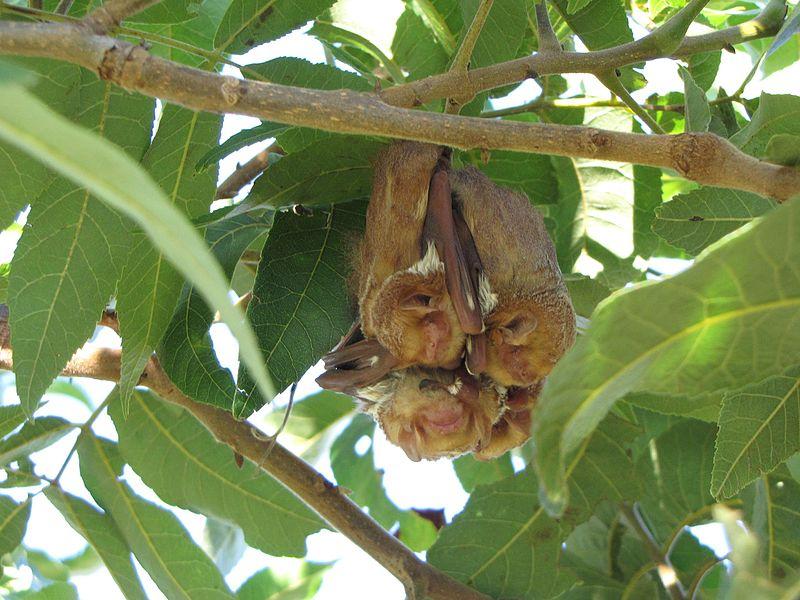 alabamas-natural-pest-control-technician-the-eastern-red-bat