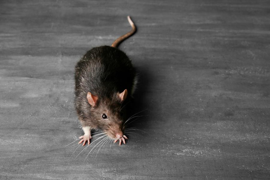 Can Rats Climb? - Vulcan Termite & Pest Control