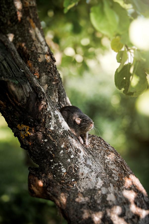 Can Rats Climb Vulcan Termite Amp Pest Control
