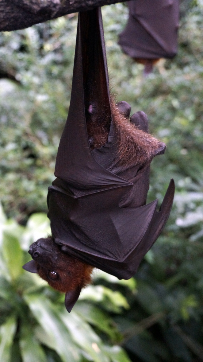 Bat in the tropical rainforest Malaysia Langkawi.