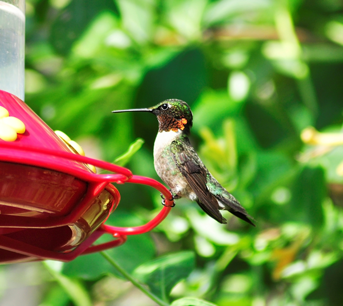 How to Properly Fill and Clean Hummingbird Feeders