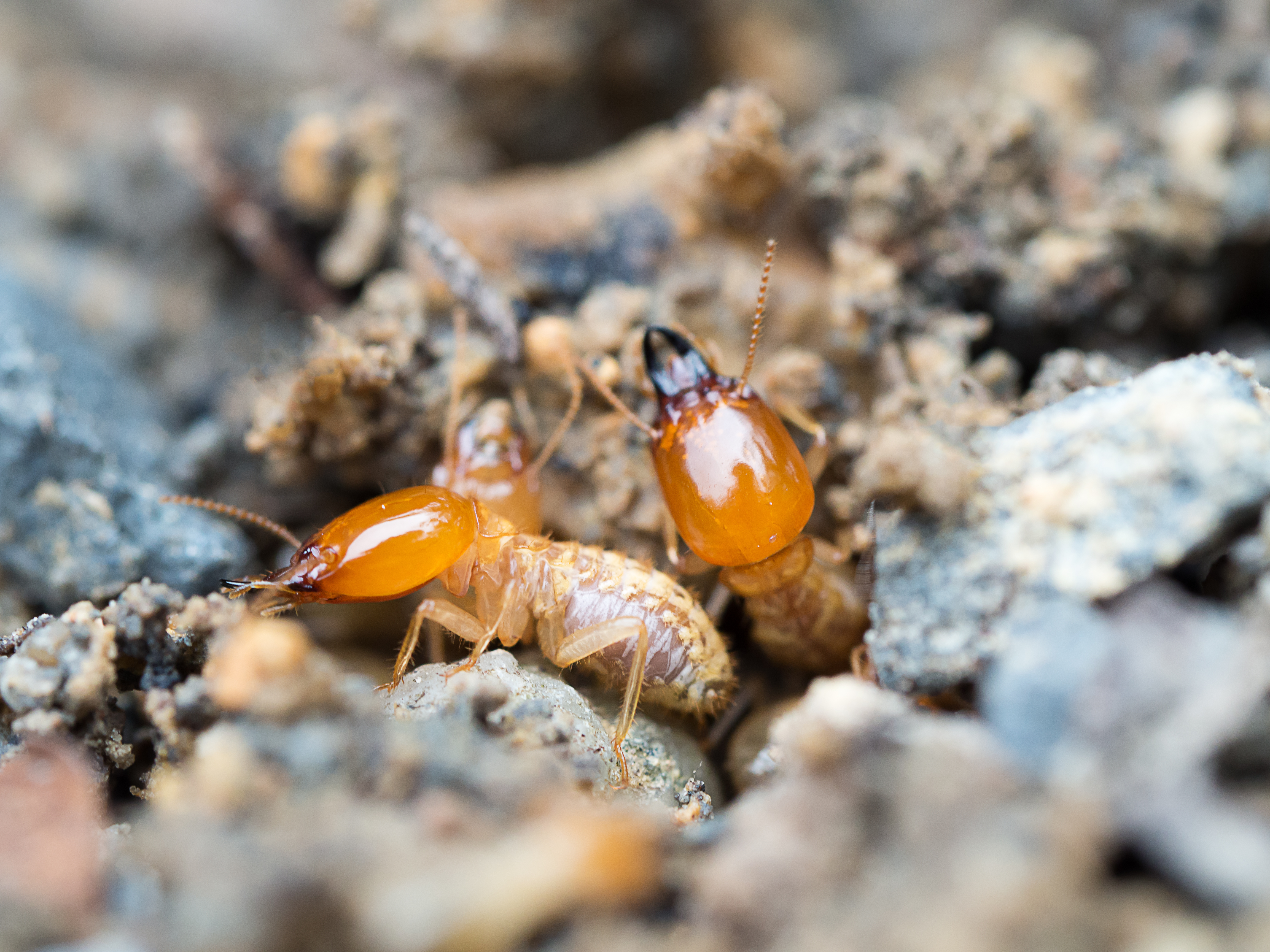 Formosan Termites What You Need To Know Vulcan Termite Pest Control