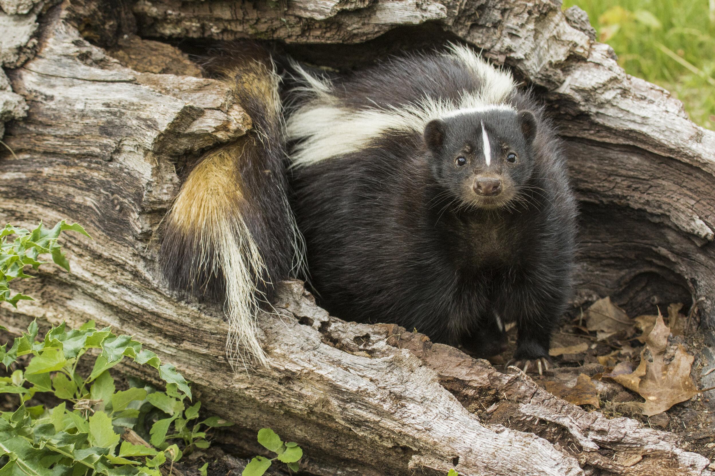 skunk stink
